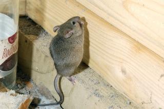 Ensayo aliado el rajiero en la lucha antic ncer ciencia puerto rico - Como cazar un raton en un piso ...