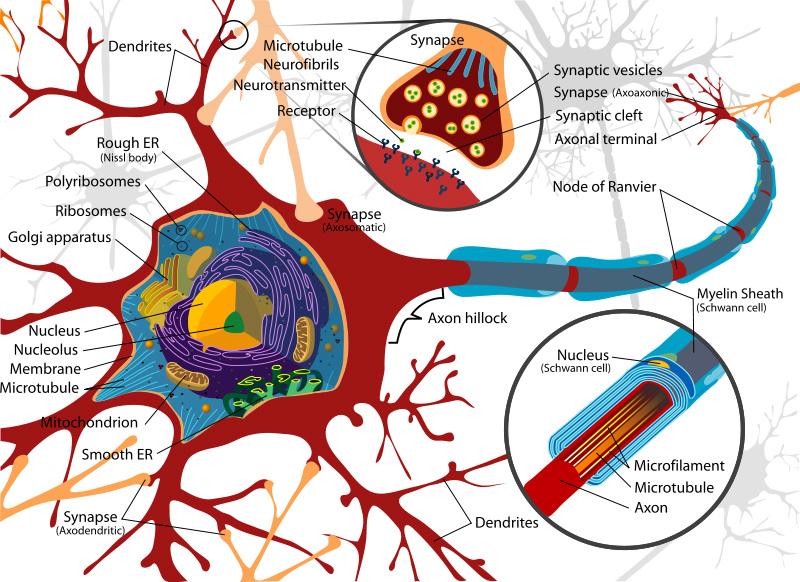 Circuito Neuronal : Desarrollo del circuito neuronal ciencia puerto rico