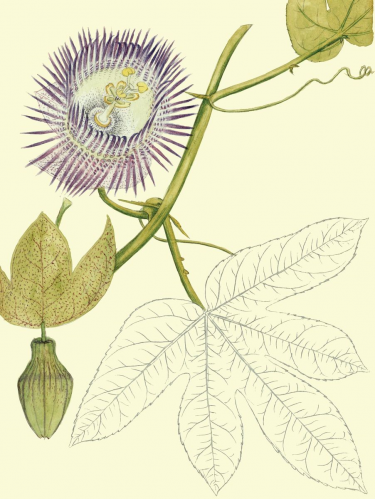 Passiflora serratodigitata L.Watercolor 325 by Agustín Stahl