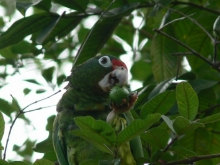 Puerto Rican parrot eating a fruit